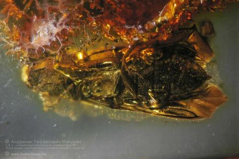 Inclusion in amber:   Coleoptera, Eucnemidae