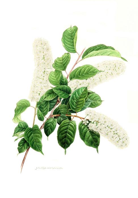 ウワミズザクラ 〈上溝桜〉   Padus grayana   420×305mm