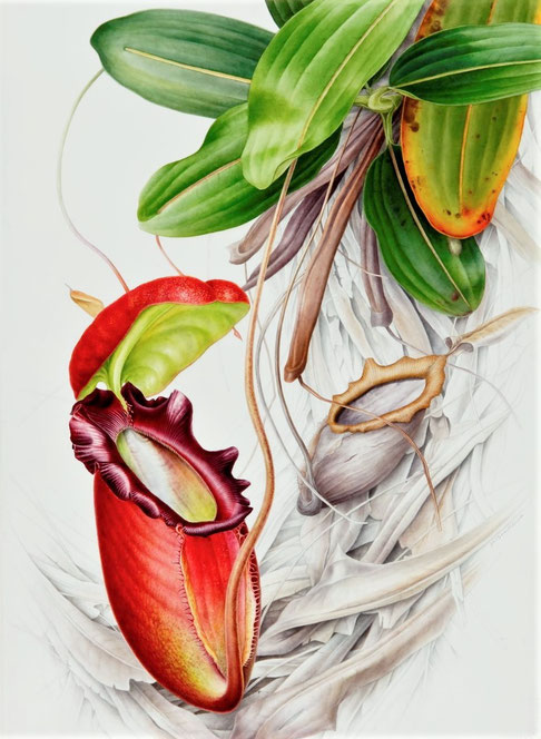 Nepenthes rajah        700x480mm
