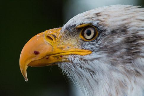 L'aigle représente le pouvoir s'élevant au-dessus du monde des hommes, l'œil qui peut fixer le Soleil, voir, comprendre et éclairer toutes choses. L'aigle est associé à la perspicacité car il voit tout.