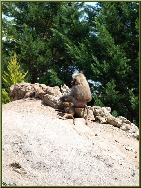 Macaque et son petit, Zoo du Bassin d'Arcachon, La Teste de Buch (33)