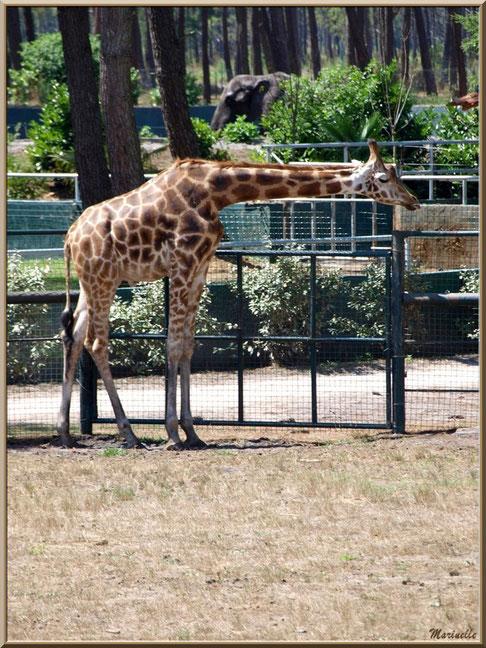 Girafe (avec éléphant en fond), Zoo du Bassin d'Arcachon, La Teste de Buch (33)