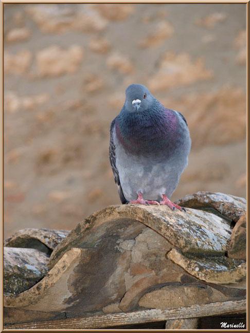 Pigeon sur un toit au détour d'une ruelle, Baux-de-Provence, Alpilles (13)