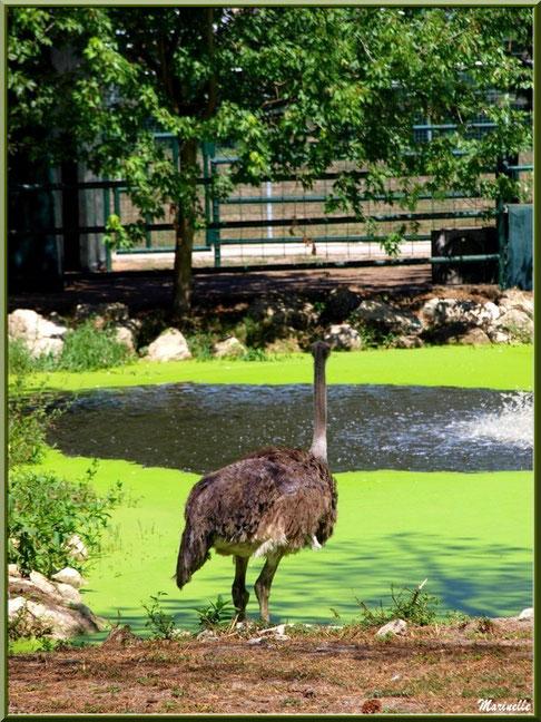 Autruche, Zoo du Bassin d'Arcachon, La Teste de Buch (33)