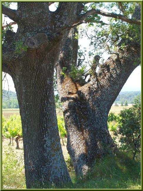 Chênes centenaires en bordure d'un vignoble dans la campagne environnante du village de Cucuron, Lubéron (84)
