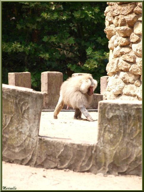 Macaque, Zoo du Bassin d'Arcachon, La Teste de Buch (33)