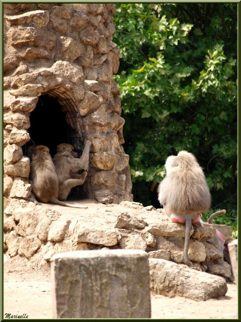 Macaques en famille, Zoo du Bassin d'Arcachon, La Teste de Buch (33)