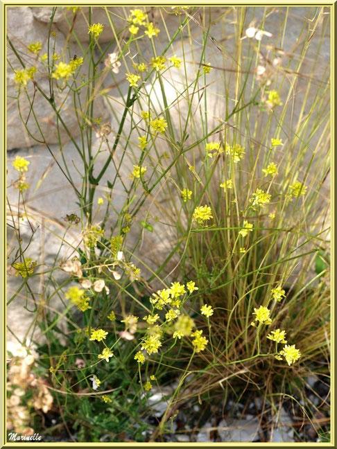 Fleurettes dans la roche en bordure du chemin menant à la chapelle Notre Dame de Beauregard, village d'Orgon, entre Alpilles et Lubéron (13)