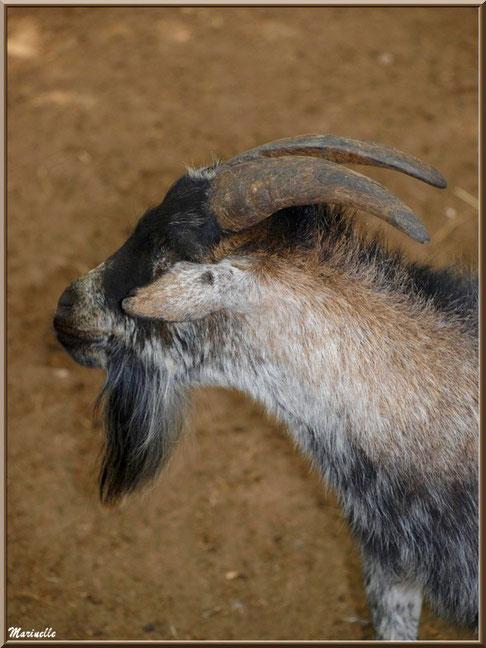 Chèvre, Zoo du Bassin d'Arcachon, La Teste de Buch (33)