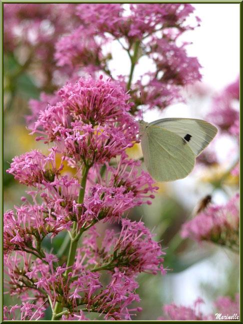 Papillon Piéride sur une valériane au détour d'une ruelle, Baux-de-Provence, Alpilles (13)