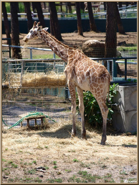 Girafe, Zoo du Bassin d'Arcachon, La Teste de Buch (33)