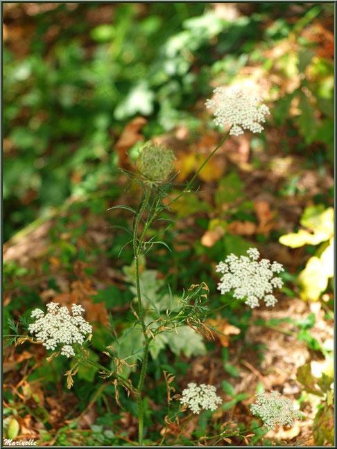 Carotte sauvage et ses fleurs, flore sur le Bassin d'Arcachon (33)