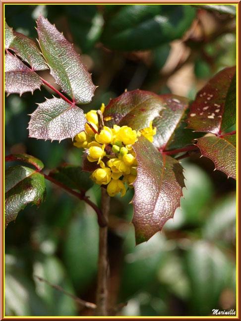 Mahonia Faux Houx ou Mahonia à Feuilles de Houx en fleurs, flore Bassin d'Arcachon (33)
