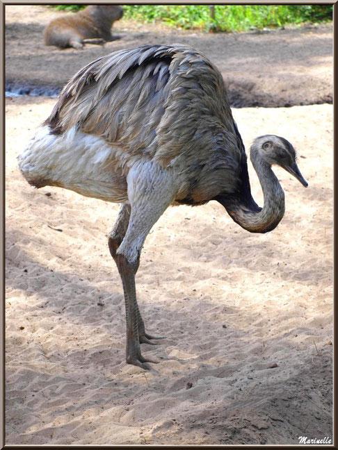 Nandou, Zoo du Bassin d'Arcachon, La Teste de Buch (33)