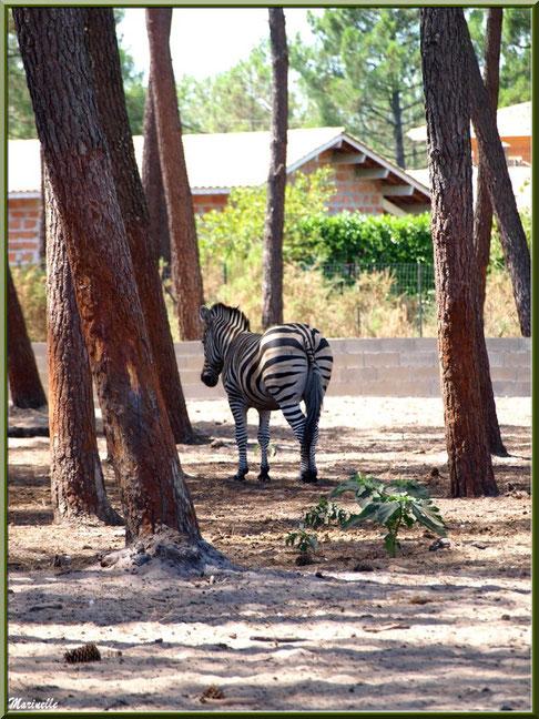 Zèbre, Zoo du Bassin d'Arcachon, La Teste de Buch (33)