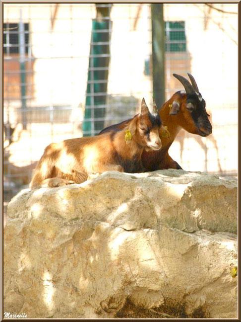 Chèvres Naines, Zoo du Bassin d'Arcachon, La Teste de Buch (33)