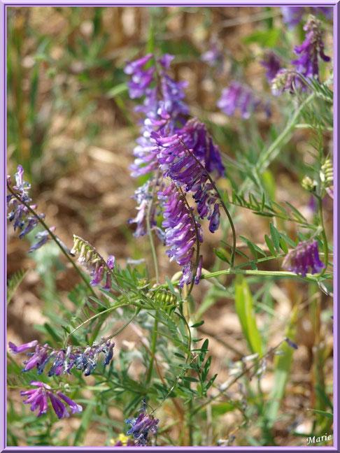 Vesces des Haies en fleurs dans la campagne autour du village d'Eygalières dans les Alpilles (Bouches du Rhône)
