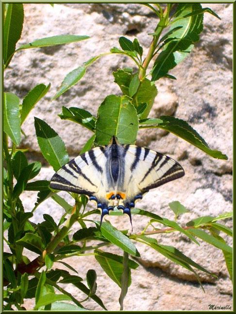 Papillon Flambé au détour d'une ruelle, Baux-de-Provence, Alpilles (13)