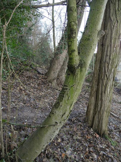 Abbildung 2  Säbelwachstum bei Bäumen deutet auf aktive Rutschungen hin. Venusberg Osthang  (Foto: Reichert)
