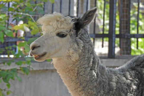 Alpaka im Zoo von Moskau