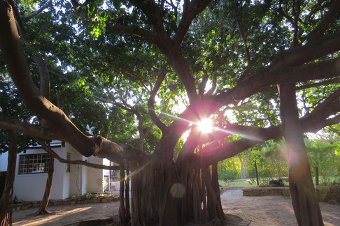 De Bergkant Lodges' Banyan Tree