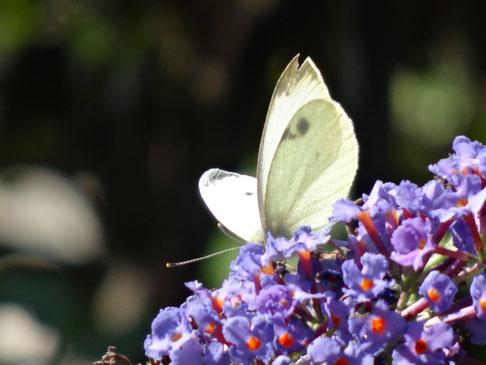 Bild: Kohlweißling auf dem Schmetterlingsflieder