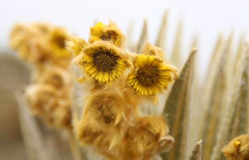 The flowers of the frailejón are similar to sunflowers.