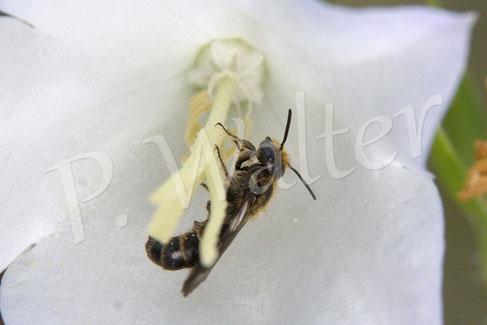 21.06.2015 : Glockenblumen-Scherenbiene, Männchen, an einer der weißen Glockenblumen