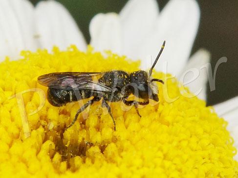 Bild: Löcherbiene, Osmia truncorum, Männchen auf der Wiesen-Margerite