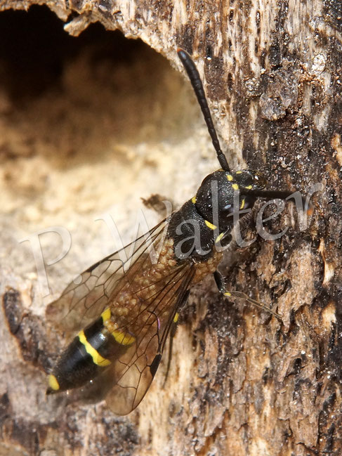 Bild: Keulhornwespe Sapyga clavicornis, übersäht mit Milben