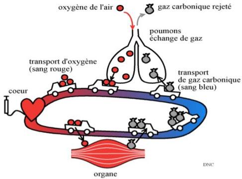 Oxygénation du sang et élimination du CO2 (gaz carbonique) au niveau des poumons. Source : ?
