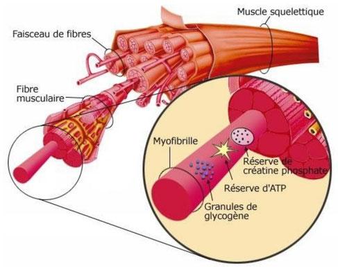 Structure à différente échelle d'un muscle. Le muscle est constitué de cellules contractiles.