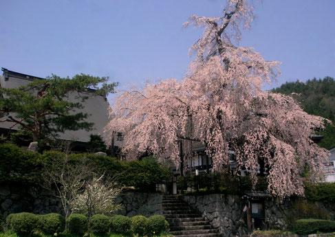 高山市朝日町枝垂れ桜ランキング第5位法正寺の枝垂れ桜