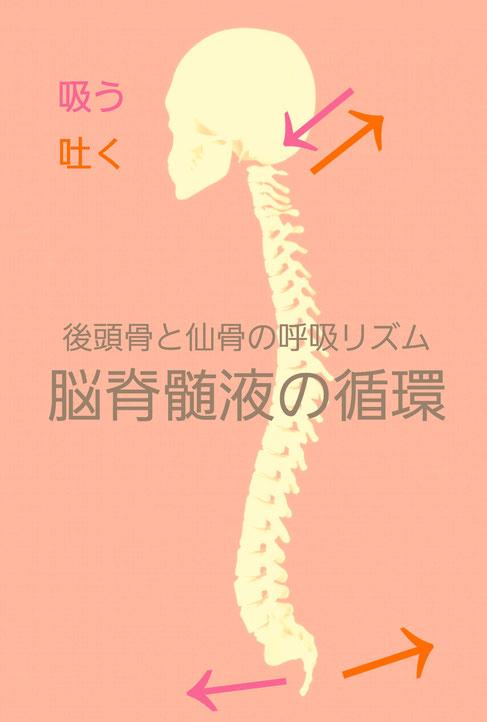 脳脊髄液の循環 第一次呼吸システム 後頭骨と仙骨の動き