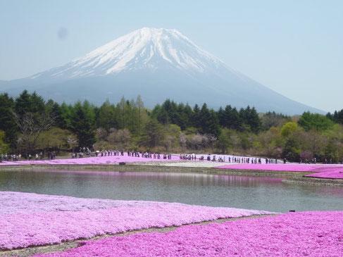 静岡県朝霧高原 富士山と芝桜