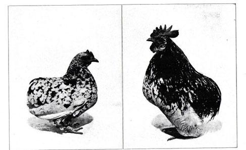 家禽図鑑 三色碁石鶉矮鶏