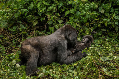 Gorilla Twins born in Volcanoes National Park