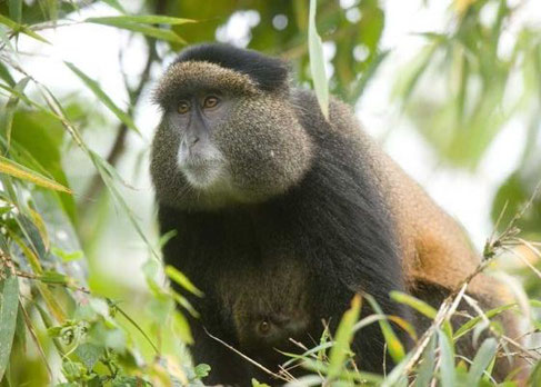 Golden Monkey in Volcanoes National Park - Rwanda
