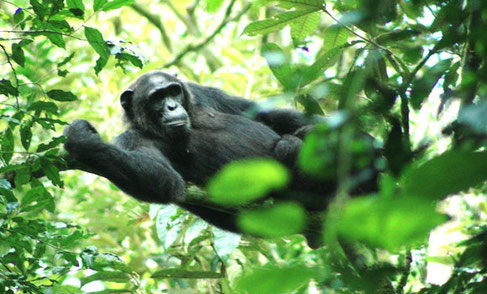 Habituated Chimpanzee in Kibale National Park