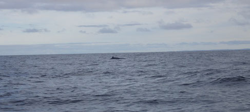 Ein Wal in der Barentssee.
