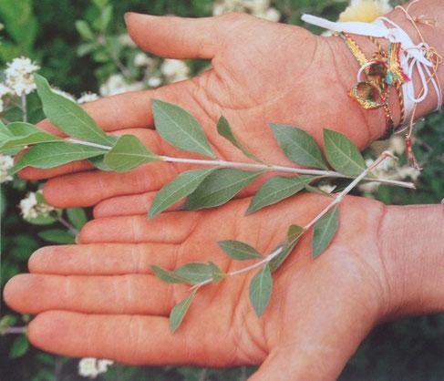 ヘナはエネルギッシュな生命力とたくましさにあふれた植物です