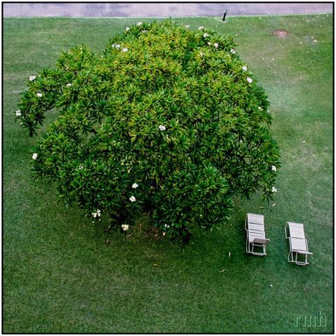 Plumeria tree in the Ka'anapali Beach Hotel, HI
