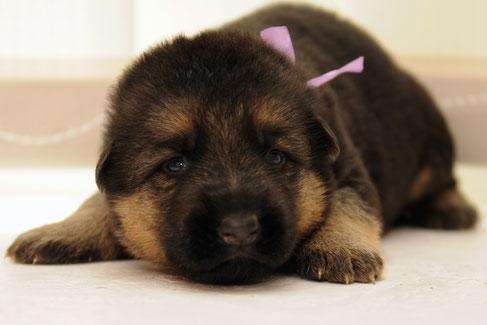 Первая вязка собаки — популярные мифы -фото-jambo-vom-schollweiher