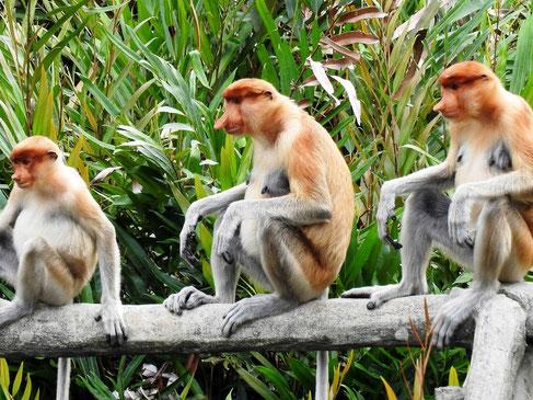 Proboscis Monkeys in het Bako National Park in Sarawak op Borneo