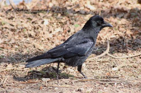 Rabenkrähe (Corvus c. corone) Ein durch Größe und Färbung auffallender Vogel in offenen Landschaften. Im Bild ein adulter Vogel [März]