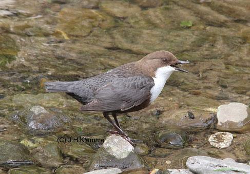"""Wasseramsel (Cinclus cinclus) Einer der """"Charaktervögel"""" an Fließgewässern von Eifel und Voreifel. Im Bild ein adulter Vogel an der Ahr bei Altenahr (RLP)"""