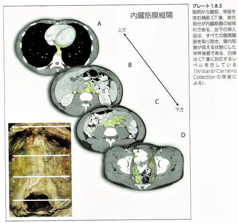 内臓縦隔(内臓筋膜)