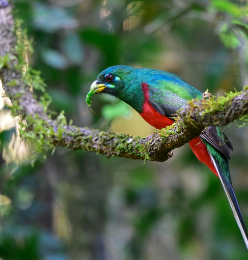 Birding-Highlight: Narina Trogon