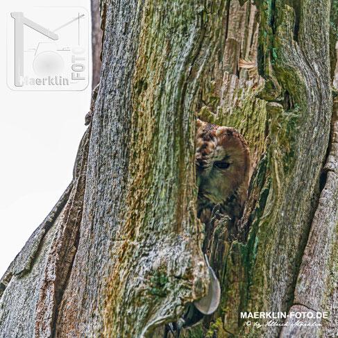 Waldkauz (Strix aluco), versteckt in einem alten Baumstamm