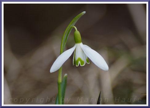 Schneeglöckchen (Galanthus)